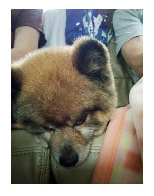 犬 連れ 旅行 チワワ ポメ 心臓 病気 まんが 漫画