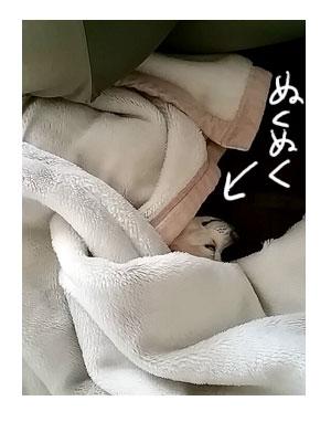 福 ぬくぬく 毛布 くるまる 寒 雪 チワワ 犬