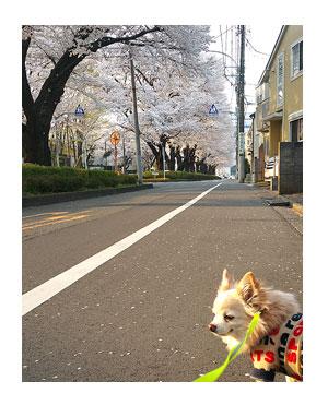 福 サクラ 桜 花見 道 道路 犬 チワワ