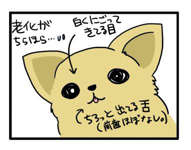 老化 老犬 福 チワワ 白内障 目 舌 歯