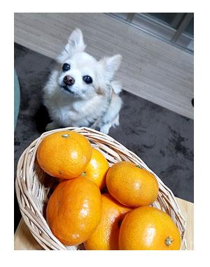 みかん 福 チワワ 犬