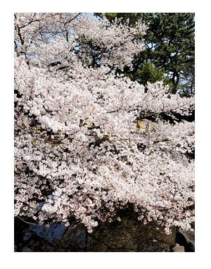 新宿 御苑 花見 桜 アルコール 禁止 女子会 アラフィフ 女子 オバ おば まんが 漫画