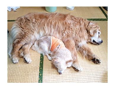 チワワ 老犬 福 吠 四国 北条 大型 宿犬 看板犬 レトリバー ペット 泊 爺 犬 まんが 漫画 マンガ