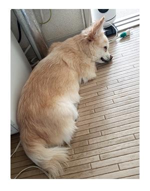 チワワ 老犬 福 吠 おばあちゃん おじいちゃん シニア ペット 床 滑 マット タイル 対策 爺 犬 まんが 漫画 マンガ