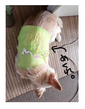 チワワ 老犬 福 吠 洋服 服 めくれ あるある おじいちゃん シニア ペット  爺 犬 まんが 漫画 マンガ