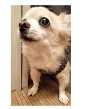 チワワ 老犬 福 吠 シッター 留守番 旅 世話 シニア ペット 心臓 心臓病 クッシング 爺 犬 まんが 漫画 マンガ
