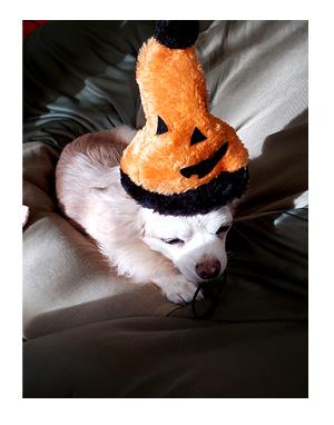 チワワ 老犬 福 吠 シニア 癖 クセ 要求 言い ペット 心臓 爺 犬 まんが ハロウィン 漫画 マンガ