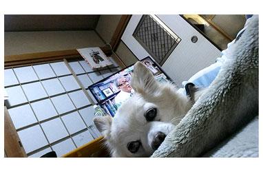 チワワ 老犬 福 吠 旅行 預 実家 ポメ 親 シッター シニア ペット 心臓 爺 犬 まんが 漫画 マンガ