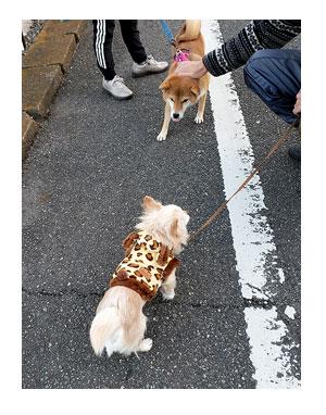 チワワ 老犬 福 吠 若い ワンコ 散歩 挨拶 遊び 誘う 相手 シニア ペット 心臓 爺 犬 まんが 漫画 マンガ