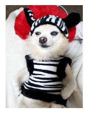 チワワ 老犬 福 吠 ダイソー 300 犬服 可愛い 動物 柄 シニア ペット 心臓 爺 犬 まんが 漫画 マンガ