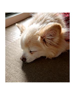 犬 チワワ 心臓病 ピモベ ベトメディン 肝臓 ウルソ わんこ おじい 老犬 福 吠 シニア ペット 心臓 犬 イラスト 絵 まんが 漫画 マンガ 寝る 寝姿 老犬
