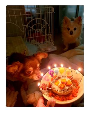 犬 チワワ 心臓病 保護犬 レスキュー ほご 捨て 誕生日 バースデイ ケーキ 老犬 福 吠 シニア ペット 心臓 犬 イラスト 絵 まんが 漫画 マンガ