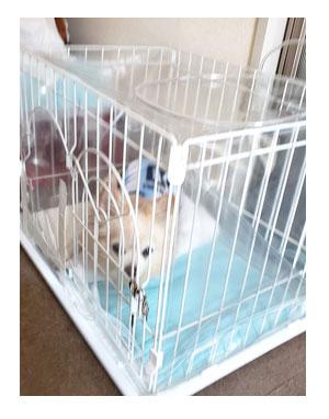 酸素ルーム 在宅 家 酸素 心臓病 犬 チワワ 手術 酸素室 深夜 発生