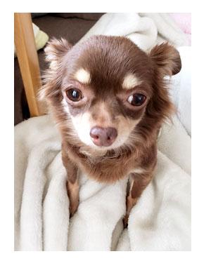 犬 チワワ 心臓病 入院 退院 肺水腫 肺 保護犬 ほご 手術 老犬 福 吠 シニア