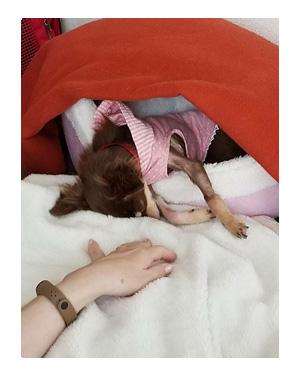 犬 心臓病 保護犬 老犬 チワワ 多頭 寝 落ち 昼寝 一緒 兄 妹 イラスト 絵 まんが 漫画 マンガ