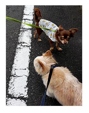 犬 散歩 上書 うわがき おしっこ シッコ マウント 心臓病 保護犬 老犬 チワワ 多頭 治療 イラスト 絵 まんが 漫画 マンガ
