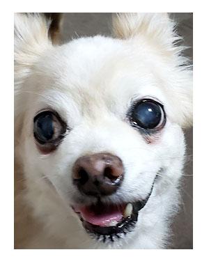 犬 あるある 老犬 老人 高齢 爺 婆 ワン 心臓病 白 白目 白内障 ガラス 硝子 病気 チワワ 多頭 手術 元保護犬 イラスト 絵 まんが 漫画 マンガ
