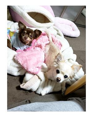 犬 挨拶 正面 ワンコ 同居 老犬 高齢 爺 ワン 心臓病 里親 保護犬 チワワ 多頭 手術 元保護犬 イラスト 絵 まんが 漫画 マンガ