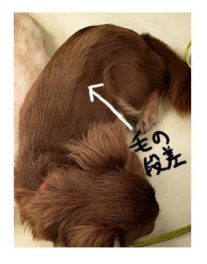 犬 毛 生え変わり 手術後 皮膚 ツヤツヤ 心臓病 里親 保護犬 チワワ 多頭 手術 元保護犬 イラスト 絵 まんが 漫画 マンガ