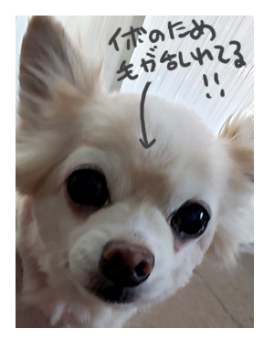 犬 あるある 老犬 老人 高齢 爺 婆 ワン いぼ イボ できもの 疣 心臓病 里親 保護犬 チワワ 元保護犬 イラスト 絵 まんが 漫画 マンガ