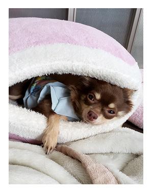 犬 麺 めん 欲 興味 なし 老犬 高齢 爺 ワン 心臓病 里親 保護犬 チワワ 多頭 手術 元保護犬 イラスト 絵 まんが 漫画 マンガ
