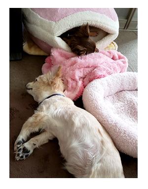 犬 出来る 出来ない トイレ しつけ 躾 シツケ ワンコ 歳 老 16歳 心臓病 保護犬 老犬 チワワ 多頭 イラスト 絵 まんが 漫画 マンガ