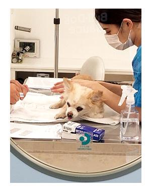 犬 歳 加齢 老 検査 便 刺 腹 脂肪腫 16歳 心臓病 保護犬 老犬 チワワ 多頭 治療 我慢 イラスト 絵 まんが 細胞診 針 漫画 マンガ