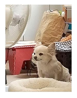 犬 あるある 老犬 老人 高齢 爺 足 開 筋力 婆 ワン 心臓病 里親 保護犬 チワワ 多頭 手術 元保護犬 イラスト 絵 まんが 漫画 マンガ