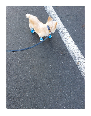 犬 足 滑り 滑り止め 筋力 老化 老犬 介護 歩 散歩 パウ paw wing シール 靴下 高齢 爺 婆 ワン 心臓病チワワ イラスト 絵 まんが 漫画 マンガ