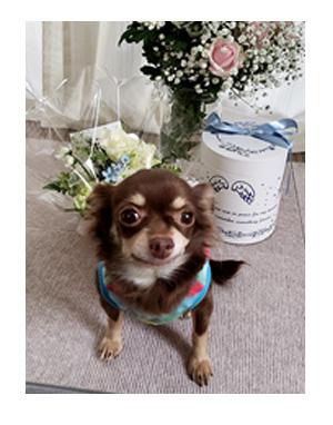犬 お礼 感謝 ありがとう 昇 虹 天国  胸水 てんかん プレドニン ステロイド 発作 フェノバール 癌 ガン 分子標的薬 抗がん剤 老犬 心臓 保護犬 チワワ イラスト 絵 まんが 漫画 マンガ