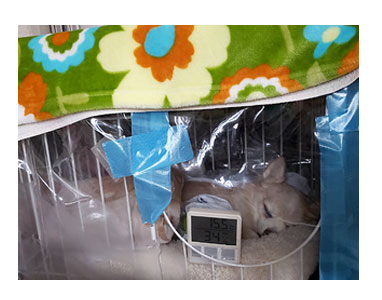 犬 氷 ドライアイス 家 葬儀 死後 遺体 硬直 昇 虹 天国  胸水 ステロイド 発作 癌 ガン 分子標的薬 抗がん剤 老犬 心臓 保護犬 チワワ イラスト 絵 まんが 漫画 マンガ