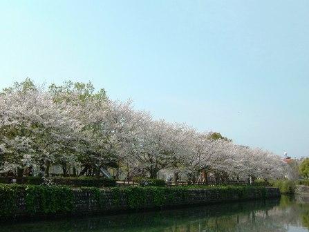 城西公園 桜