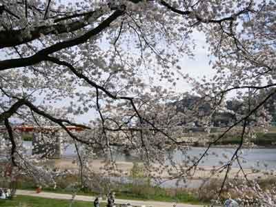 2014 櫻の季節