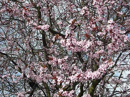桜4月4日