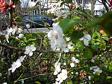 一重の桜4月4日