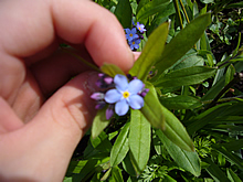 チビが撮影したむらさきのお花4月4日