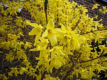 窓の下にある黄色い花4月4日