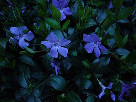 むらさきのお花4月10日