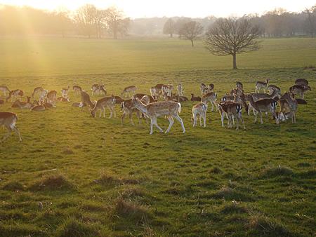 リッチモンドパークの鹿