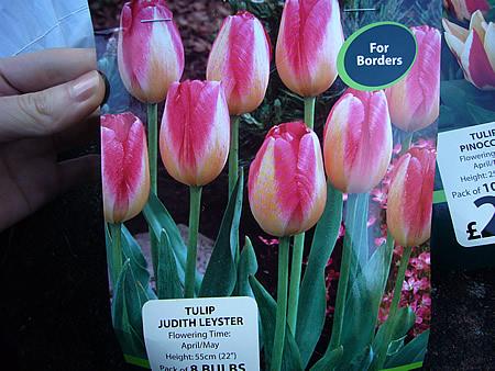 Tulip Judith Leyster