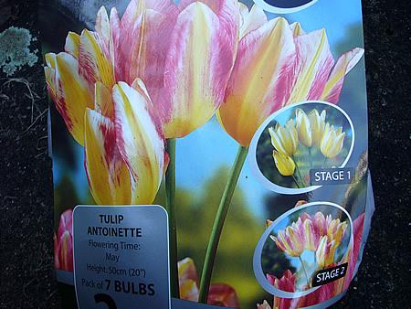 Tulip Antoinette