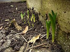 芽が出ています