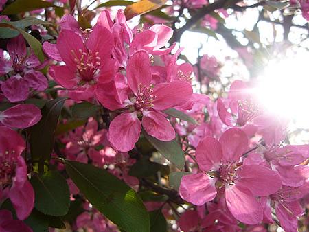 濃いピンクの一重桜