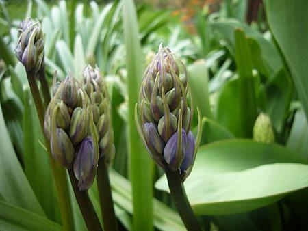 チューリップの横の紫の花