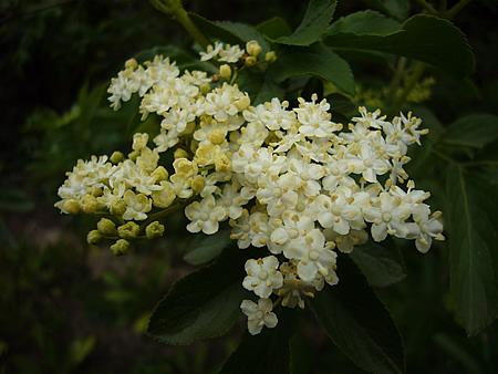 一番奥の木の白い花
