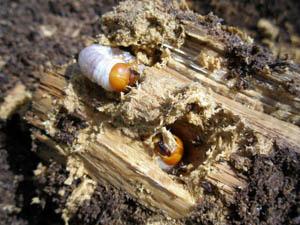 オオクワガタの幼虫