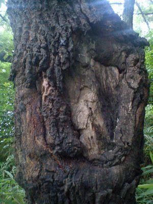 クヌギの樹