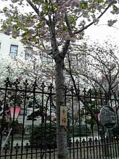 大阪造幣局の桜「幸福」