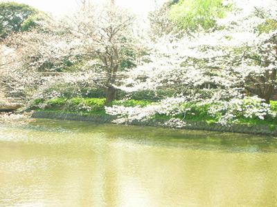 八幡宮の桜