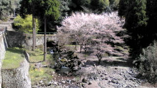 茶屋の本の桜